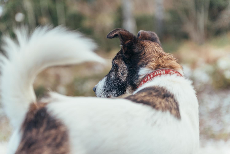 Koiran stressin alentaminen