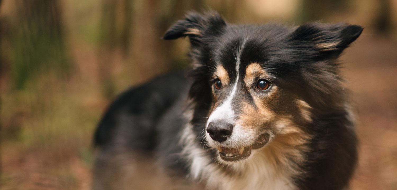 koiran nivelrikko