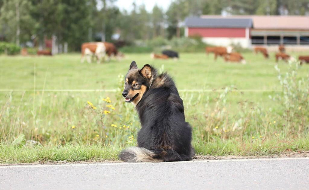 koira ja lehmät