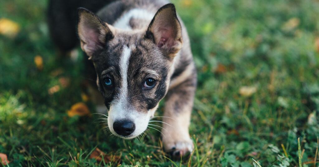 Kärsiikö koirasi korvatulehduksista?